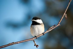 Black-Capped Chickadee Sitting on a Branch Stock Photos