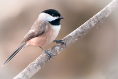 Black-capped chickadee. Sitting on a single branch with a blurred background Royalty Free Stock Images