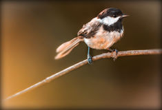 Blackcapped chickadee Royalty Free Stock Photography
