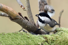 Black-capped chickadee. Sitting on a single branch with a green background and a seed in its beak Royalty Free Stock Images