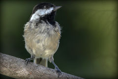 Black-capped chickadee. Sitting on a single branch wit a green background Royalty Free Stock Images