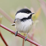 Black Capped Chickadee Small Bird Stock Photos