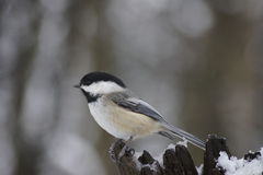 Black capped chickadee on snow cover tree stump. Royalty Free Stock Image