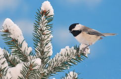 Black- capped Chickadee On Snowy Spruce Royalty Free Stock Photos