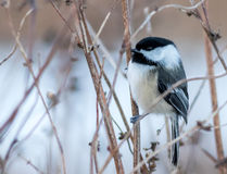 Black-capped Chickadee songbird. Poecile atricapillus perched on branches in winter stock photography