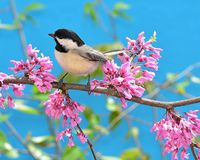 Black- capped Chickadee at spring blossoms. A Black- capped Chickadee on the branch of a flowering redbud tree royalty free stock images