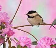 Black- capped Chickadee at Springtime Royalty Free Stock Images