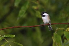 Black-capped Chickadee Poecile atricapillus perched on a tree branch near a feeder station on a rainy day. A Black-capped Chickadee stands perched on a tree royalty free stock images