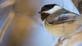 Black-capped chickadee - taken near the Minnehaha Creek in Minneapolis, Minnesota. Birds stock images