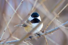 Black-capped chickadee - taken in near the Minnesota River in the Minnesota Valley National Wildlife Refuge. Birds stock image