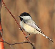 Black capped chickadee on a tree branch. Black capped chickadee on branch with blurred background royalty free stock image