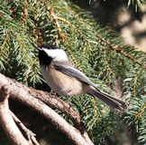 Black Capped Chickadee On Tree Branch Stock Photos