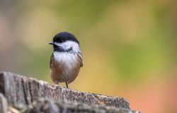 Black-capped Chickadee at Tylee Marsh, Rosemere, Quebec, Canada stock photos