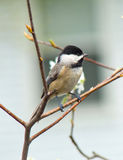 Black-capped Chickadee. View of Black-capped Chickadee on twig against clear background royalty free stock images