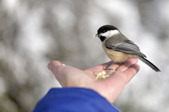 The Black-capped Chickadee. In Winter royalty free stock photography