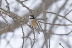 Black Capped Chickadee in the Winter Forest royalty free stock images