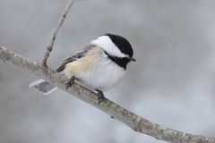 Black-capped Chickadee in Winter Royalty Free Stock Photography