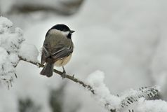 Black Capped Chickadee in Winter Snow. A Black Capped Chickadee (Poecile atricapillus) perched on a snow covered Evergreen during a snow storm in winter stock image