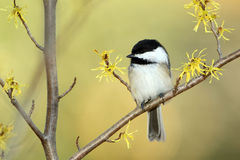 Black-capped Chickadee in a Witch Hazel Shrub. Black-capped Chickadee (Poecile atricapilla) perched in a flowering Witch Hazel shrub in autumn - Ontario, Canada stock images