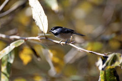 black capped chickadeen Royaltyfria Foton