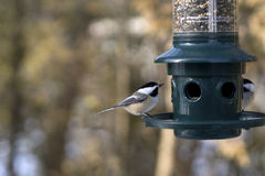 Black Capped Chickadees Royalty Free Stock Photos