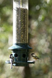 Black-Capped Chickadees Stock Images