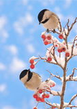 Black- capped Chickadees (Poecile atricapillus). Adorable Black- capped Chickadee twins on a snowy hawthorn branch with blue sky in the background Stock Images