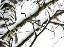 black capped chickadeevinter royaltyfri bild