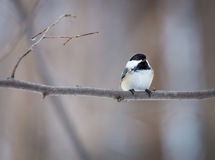 Black Capped Chickerdee. Royalty Free Stock Images