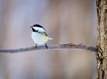 Black Capped Chickerdee. The black-capped chickadee  is a small, non migratory, North American songbird that lives in deciduous and mixed forests. It is a very Royalty Free Stock Photo