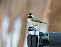 Black Capped Chickerdee. Royalty Free Stock Image