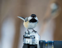 Black Capped Chickerdee. Royalty Free Stock Photo