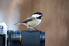 Black Capped Chickerdee. The black-capped chickadee  is a small, non migratory, North American songbird that lives in deciduous and mixed forests. It is a very Royalty Free Stock Image