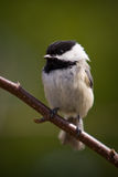 A Black-Capped Chikadee Close-up. A black-capped Chickadee, also called Poecile Atricapillus, is perched on a branch stock image
