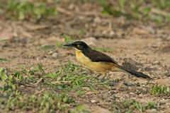 Black-capped donacobius, Donacobius atricapillus. Single bird on ground, Brazil Stock Photos