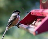 Black capped finch at birder feeder closeup. Black capped finch at birder feeder closeup, red metal bird feeder stock photography