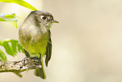 Black-capped Flycatcher 1 Royalty Free Stock Images