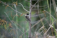 Black Capped Gnatcatcher at Ocala, Florida Royalty Free Stock Images