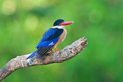 Black-capped Kingfisher Royalty Free Stock Photo