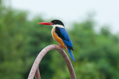 black capped kingfisher Royaltyfri Foto