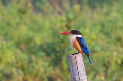 black capped kingfisher Arkivbild