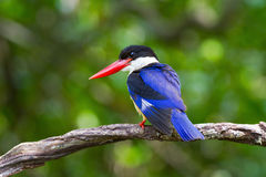 Black-capped Kingfisher Stock Images