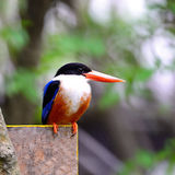 Black-capped Kingfisher Royalty Free Stock Images