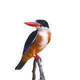 Black-capped Kingfisher bird Royalty Free Stock Photography