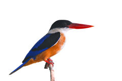 Black-capped Kingfisher bird Royalty Free Stock Image