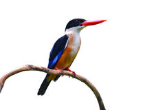 Black capped Kingfisher bird Royalty Free Stock Photography