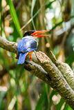 Black capped Kingfisher Stock Images