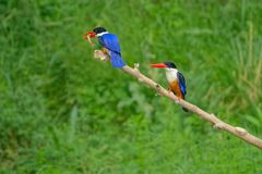Black-capped Kingfisher. The close-up of two Black-capped Kingfisher stand on branch. One of them is eating a fish. Scientific name: Halcyon pileata Royalty Free Stock Photography