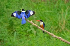 Black-capped Kingfisher. The close-up of two Black-capped Kingfisher stand on branch. One of them is eating a fish. Scientific name: Halcyon pileata Royalty Free Stock Photo