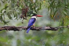Black-capped Kingfisher Halcyon pileata Beautiful Birds of Thailand Stock Images